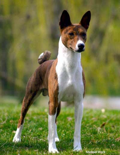Basenji Dog Breed For Sale