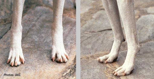 Dogs  Toes Are Swollen