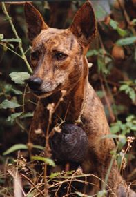 Brindle basenji with bell in Africa