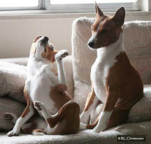 Two basenjis teasing one another