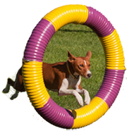 Basenji working in agility