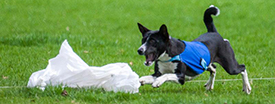 Basenji lure coursing