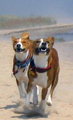 Two basenjis running on a beach