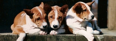 Three red puppies in sunshine