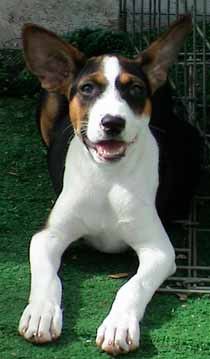 Young tri-color basenji